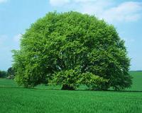træpåplæne